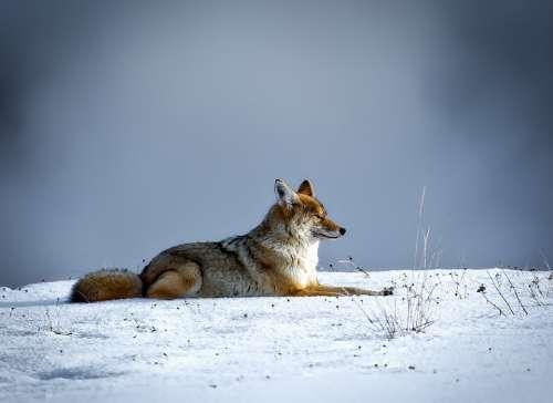 Coyote Animal Wildlife Fox Snow Winter
