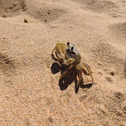 Crab Sand Beach Sea Nature Wildlife Crustaceans