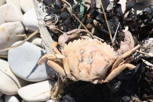 Crab Sea Animal