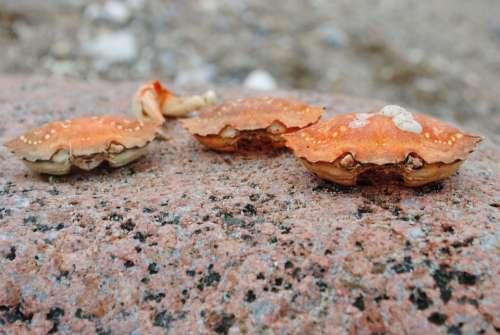 Crab Crab Skald Stone