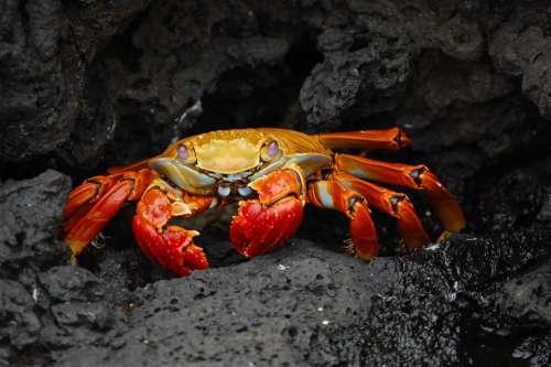Crab Red Klippenkrabbe Grapsus Grapsus Shellfish