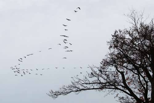 Cranes Flock Of Birds Migratory Birds Birds Animal
