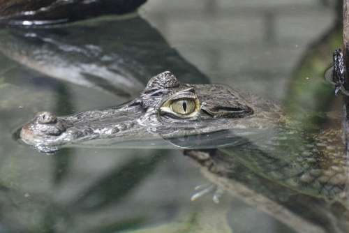 Crocodile Alligator Zoo Animal Gad Water Eye