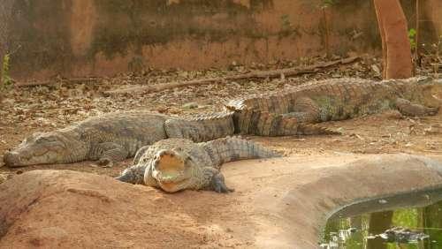 Crocodiles Africa Burkina Faso Crocodile Animals