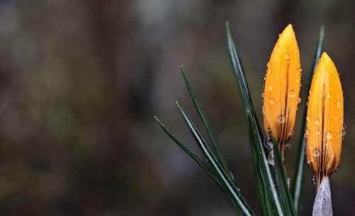 Crocus Flower Wet Spring Spring Flower Yellow