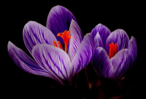 Crocus Bloom Spring Close Up Purple Flowers Macro