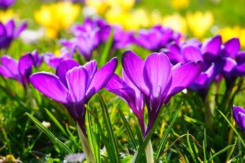 Crocus Flower Spring Bühen Purple Blossom Bloom