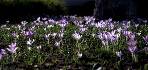 Crocus Flower Meadow Spring Signs Of Spring