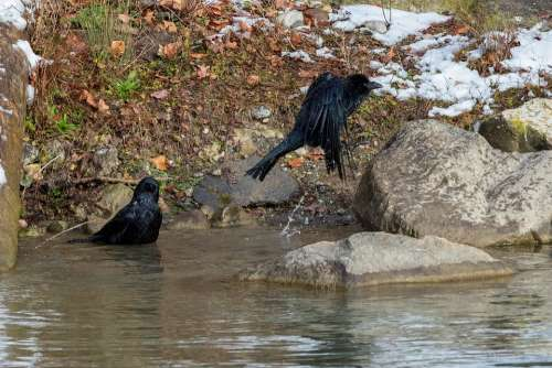 Crow Swim Flying Bird Corvidae Bad Water Animal