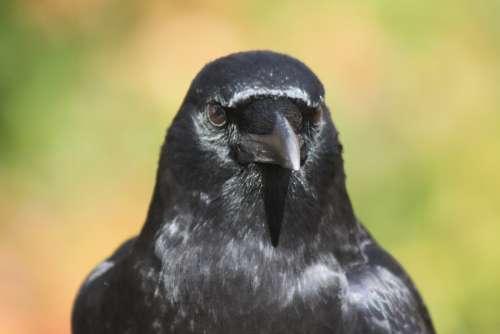 Crow Portrait Pose