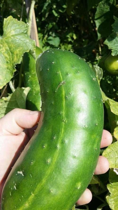 Cucumber Green Hand Mature