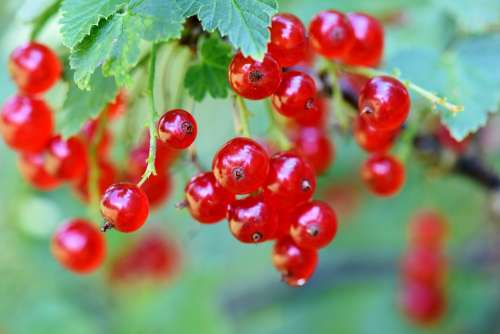 Currants Berries Currant Fruits Food Fruit Tasty