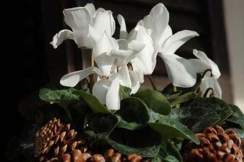 Cyclamen White Flowers Flowers