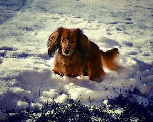 Dachshund Winter Snow Dog