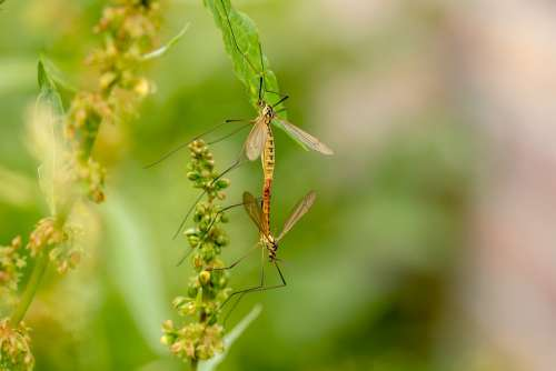 Daddy Longlegs Insect Mosquitoes Tipulidae Fly