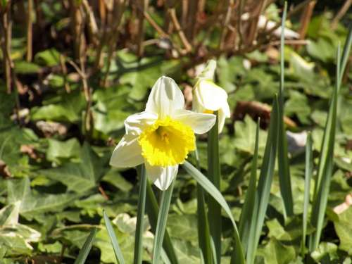 Daffodil Narcissus Spring Blossom Bloom Plant