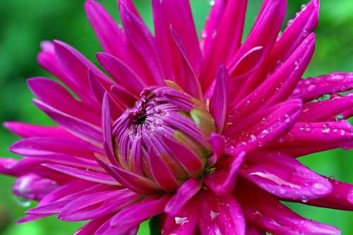 Dahlia Flower Composites Dahlia Garden Blossom