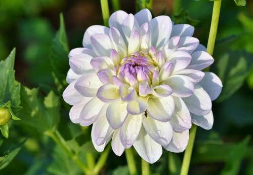 Dahlia Dahlias Bud Flower Bud Dahlia Garden