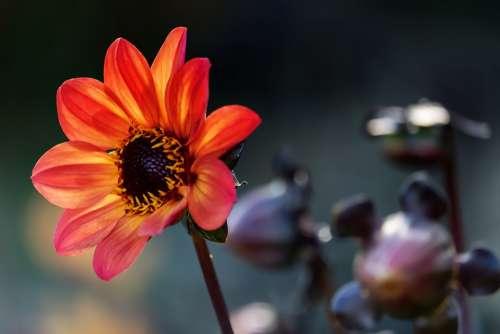 Dahlia Flower Blossom Bloom Yellow Orange
