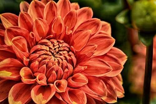 Dahlia Plant Flower Blossom Bloom Nature Petals