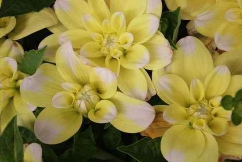 Dahlia Yellow Flower British Flowers Flower Yellow