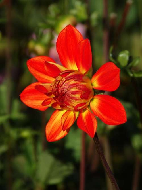 Dahlia Flower Flower Blossom Red Yellow Flower Bud