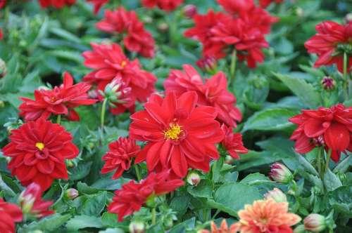 Dahlias Summer Garden Plant Garden Blossom Bloom