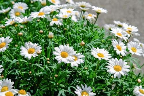 Daisies Flowers Bloom White Yellow Plant Nature
