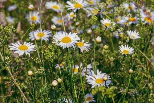 Daisies Flowers Bloom Nature Meadow Flower Meadow