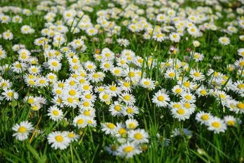 Daisy Flower Blossom Bloom White Bellis Philosophy
