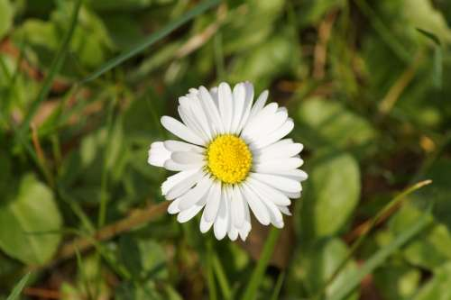 Daisy Flower Spring Summer White Yellow Plant