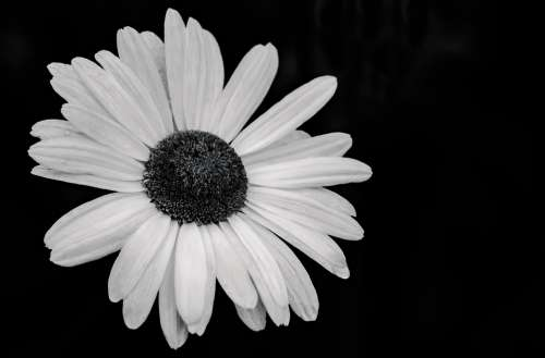 Daisy Marguerite Flowers Flower White Nature