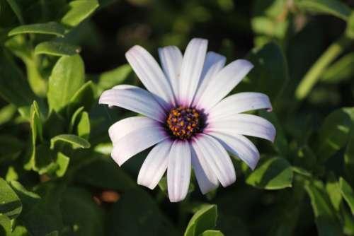 Daisy Flower Botanical Spring White Petals
