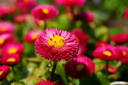 Daisy Red Flower Blossom Bloom Plant Color