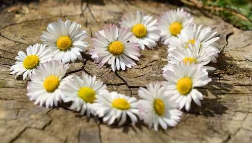 Daisy Heart Flowers Flower Heart Spring