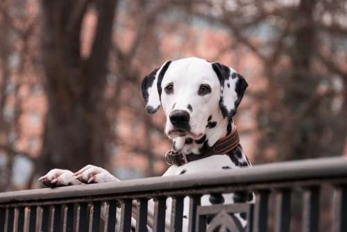 Dalmatians Dogs Pet Good