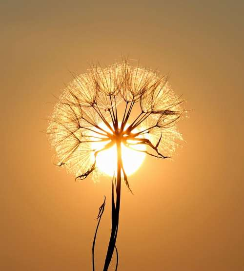 Dandelion Sun Plants Flower Dry Seeds