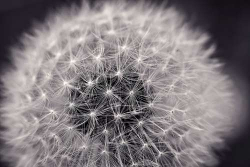 Dandelion Close Up Pointed Flower Nature Macro