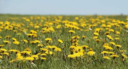 Dandelion Meadow Dandelion Meadow Spring Yellow