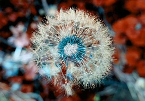 Dandelion Plant Close Up Macro Nature Blossom