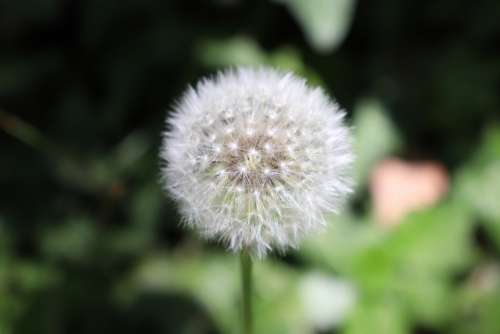 Dandelion Plant Close Up Pointed Flower