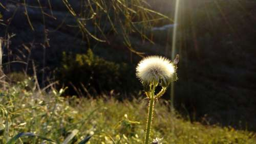Dandelion Flower Ray Of Light Field Nature Plant