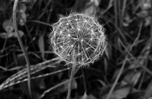 Dandelion Plant Seeds Pods Stem Flower