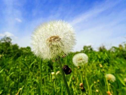 Dandelion Nature Flower Summer Macro Meadow