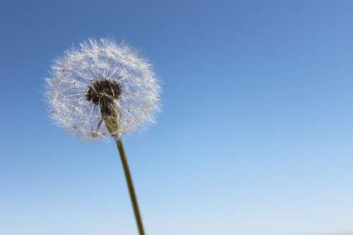Dandelion Sky Wishes Flower Nature Wind Seeds