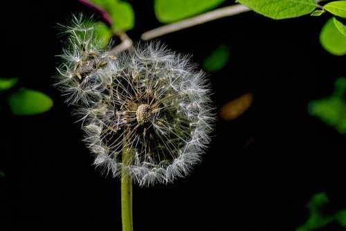Dandelion Nature Meadow Seeds Plant