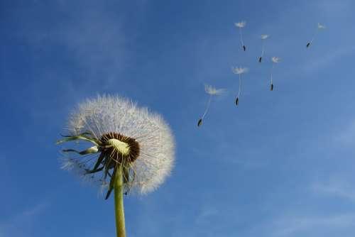 Dandelion Sky Flower Nature Seeds Plant Spring