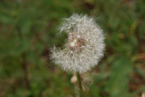 Dandelion Flower Seeds Nature