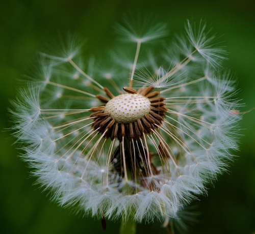 Dandelion Plant Nature Flower Close Up