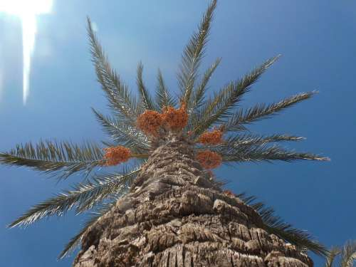 Date Palm Palm Plamenfrucht Turkey Turkish Summer
